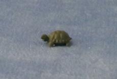 kleine Schildkröte small Tortoise
